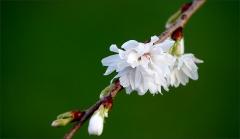 Kirschblüten am 23. Dezember