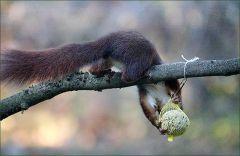 Das Eichhörnchen greift sich den Meisenknödel