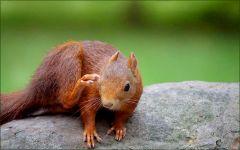 Eichhörnchen kratzt sich