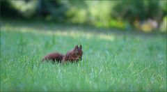 Eichhörnchen in der Wiese