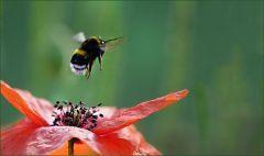 Abflug einer Hummel von der Mohnblume