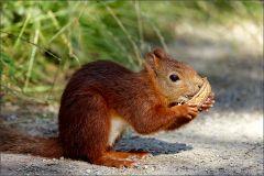 Eichhörnchen mit einer Walnuss
