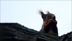 Eichhörnchen am 4. Advent