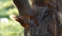 Eichhörnchen sammelt Nestmaterial
