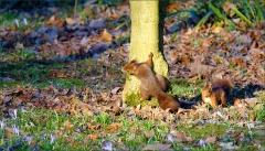 Zwei Eichhörnchen am Waldrand