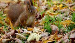 Eichhörnchen im Laub