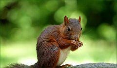 Eichhörnchen mit einer Verletzung