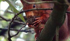 Eichhörnchen mit grosser Nuss