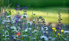 Wildblumen im Juni