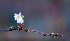 Kirschblüte im November