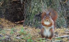 Eichhörnchen am Waldboden