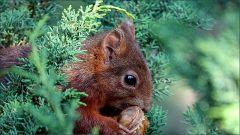 Eichhörnchen mit dem Aprikosenkern