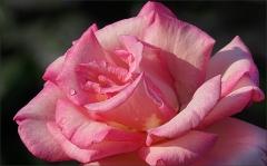 Rose mit einem Regentropfen