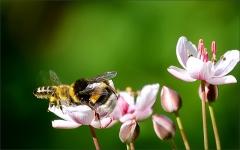 Zusammenstoss von Biene und Hummel