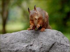 Das Eichhörnchen schaut verwundert