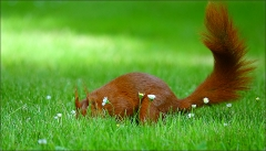Eichhörnchen auf Futtersuche