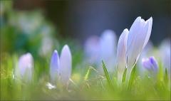 Krokusse in der Frühlingswiese