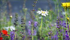 Wildblumenwiese im Mai