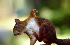Eichhörnchen kratzt sich am Bauch