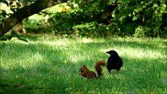 Eichhörnchen und Rabe