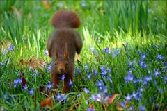 Eichhörnchen springt in die Blausterne