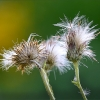 Verblühte Distelblumen