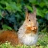 Kleines junges Eichhörnchen