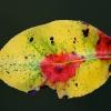 Blattverfärbung eines Birnbaumblatts im November