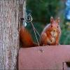 Eichhörnchen auf einem Vogelhaus