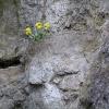 Blüten im Felsen