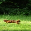 Eichhörnchen rennt