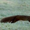 Eichhörnchen auf der kalten Wiese mit Raureif
