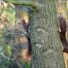 Zwei Eichhörnchen am Baumstamm