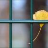 Ginkgoblatt an einem Zaun