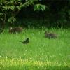 Wildkaninchen und Amsel