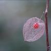 Vertrocknete Lampionblume mit roter Frucht