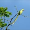 Papagei im Junisommer