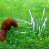 Eichhörnchen und Herbstzeitlose