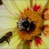 Dahlie mit Biene und Hummel
