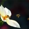 Dahlie und drei Bienen
