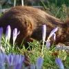Eichhörnchen zwischen Krokussen