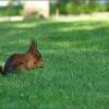 Eichhörnchen auf der Wiese