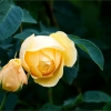 Rose im Mai