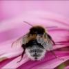 Hummel auf Echinacea
