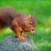 Eichhörnchen auf einem Stein