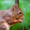 Eichhörnchen mit Futter