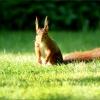 Eichhörnchen in der Morgensonne