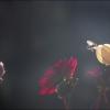 Dahlien und Biene