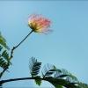 Blüte des Schlafbaums