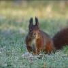 Eichhörnchen in der Wiese mit Raureif